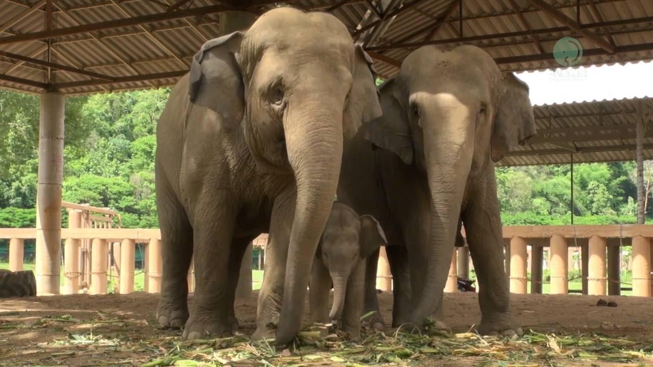 Édes videón, ahogy a kiselefánt azt tanulja, miképp használja ormányát