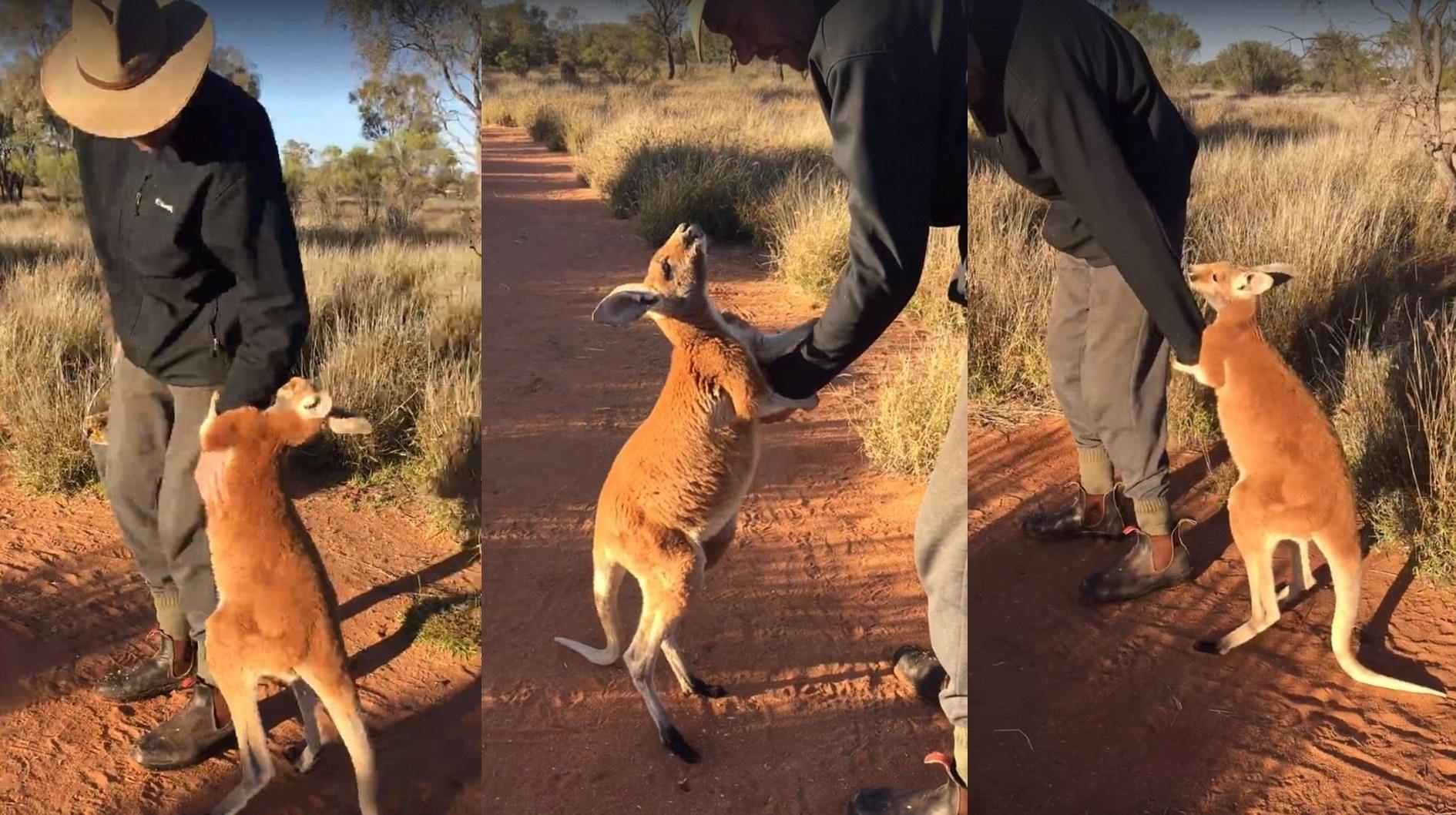 Megható videón a bébikenguru, aki nem hajlandó elengedni megmentőjét