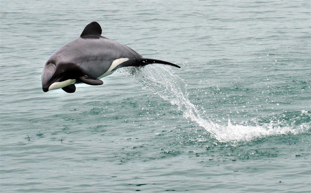 Szinte lehetetlen a világ legkisebb delfinfajának megmentése