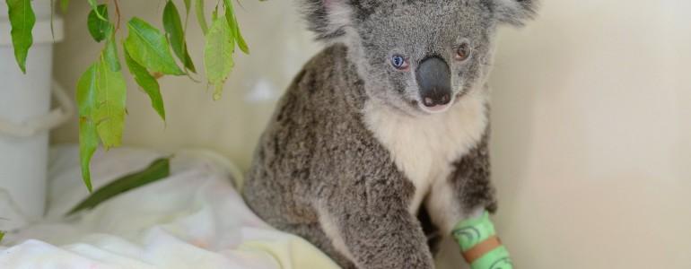 Felemás szemének köszönheti világhíres nevét egy ausztrál koala