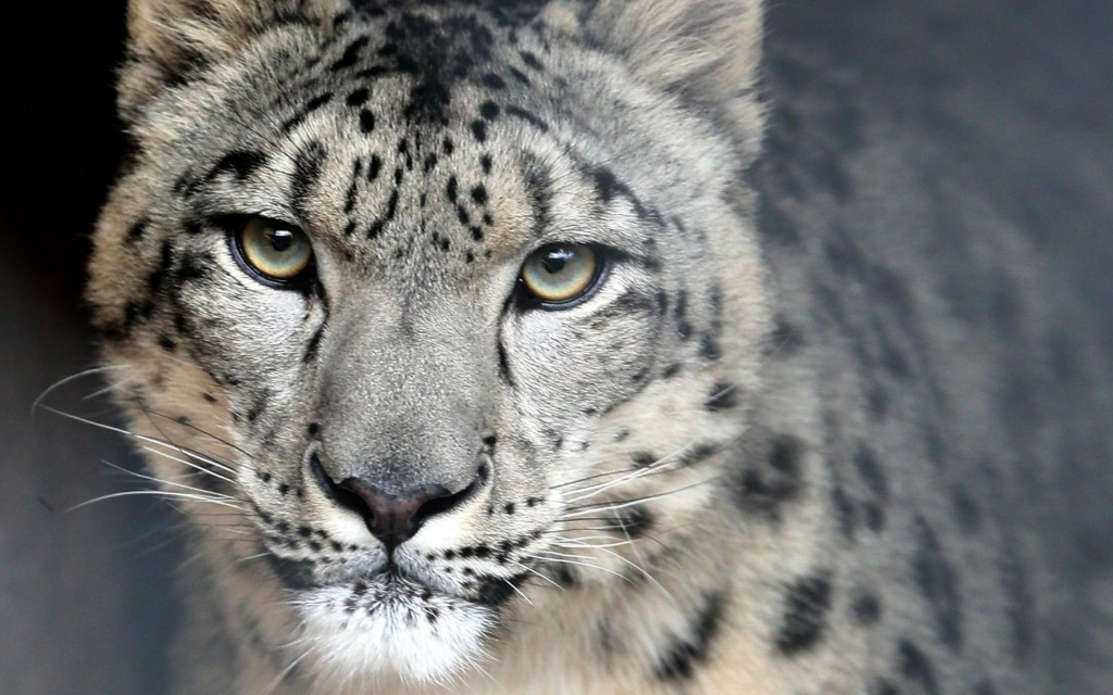December 7, 2015 The Milwaukee County Zoo's recent acquisition, a male snow leopard named Asa, from the Rosamond Gifford Zoo in Syracuse gets used to his surroundings before being placed on exhibit.   MICHAEL SEARS/MSEARS@JOURNALSENTINEL.COM