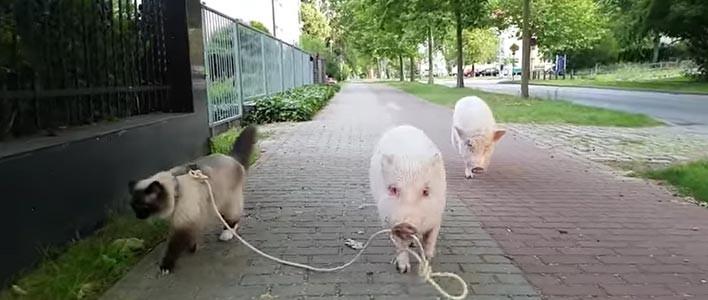Most akkor a malac sétáltatja a cicát, vagy éppen fordítva?