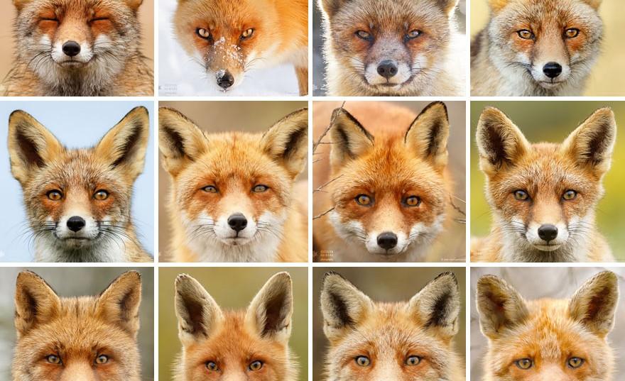 A rókák ezer arca – Fotók, amelyek bizonyítják, hogy mindegyikük külön egyéniség