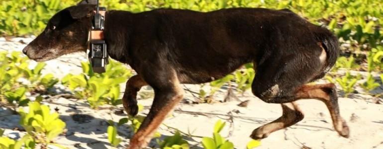 """""""Öngyilkos"""" vadkutyákkal mentenek meg egy ausztrál szigetet a ritka növényeket lelegelő kecskéktől"""