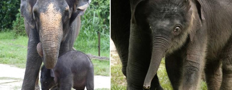 Nem lehet betelni ezzel a két hónapos elefántbébivel