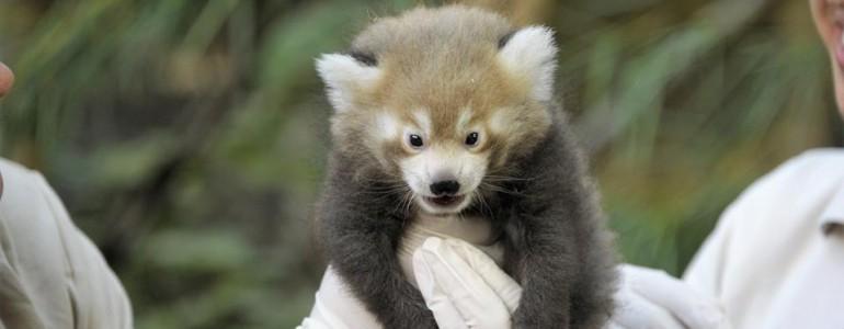 Imádnivaló videó készült a nyíregyházi kis pandákról