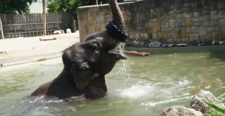 Akár egy gyerek, úgy pancsol medencéjében a budapesti állatkert 4 tonnás elefántja