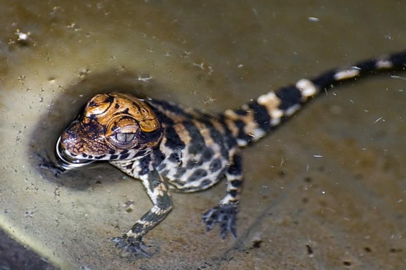 Tompaorrú krokodilok keltek ki a Szegedi Vadasparkban