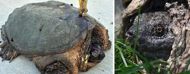 Csavarhúzót döftek ebbe a teknősbe, de ő nem volt hajlandó feladni
