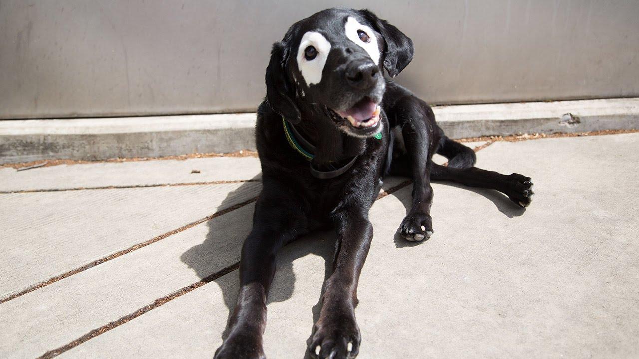 Pandakutyának becézik a különleges rendellenességgel született labradort