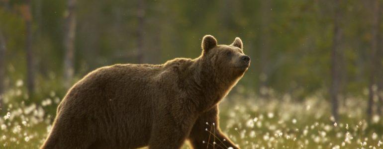 Szökni próbáló medvét lőttek ki egy szlovák állatkertben