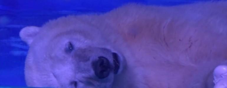Egy plázában tartják ezt a jegesmedvét – Az emberi önzőség miatt akár el is pusztulhat