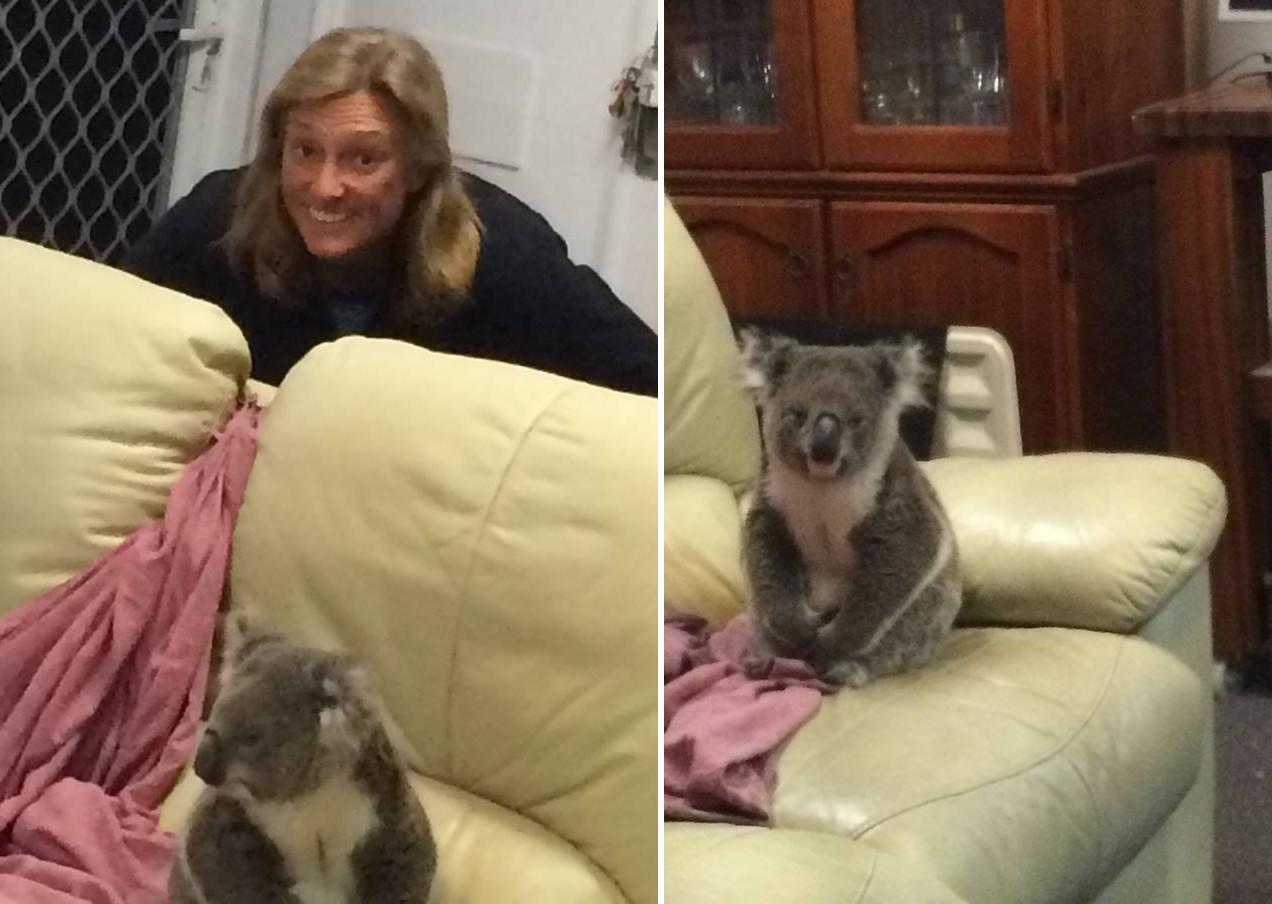 Te mit tennél, ha arra érnél haza, hogy egy koala ücsörög a nappalidban?