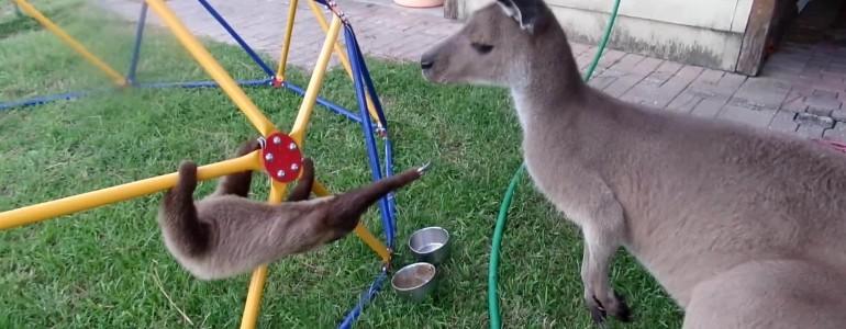 Ez történik, ha egy bébilajhár és egy kenguru találkozik