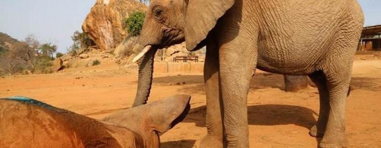 Mérgezett társa mellett őrködött az elefánt, amíg meg nem érkezett a segítség