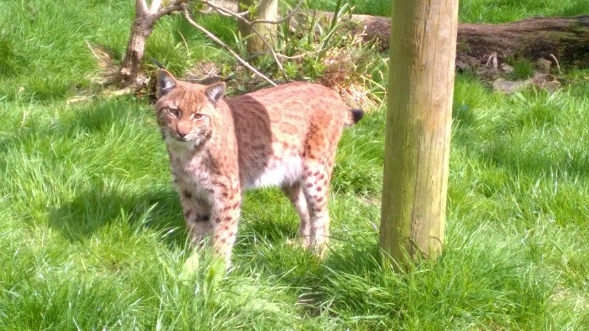 THIS IS THE MISSING DARTMOOR LYNX. Posted of the official Dartmoor Zoo twitter account. This Lynx escaped its enclosure by digging a hole