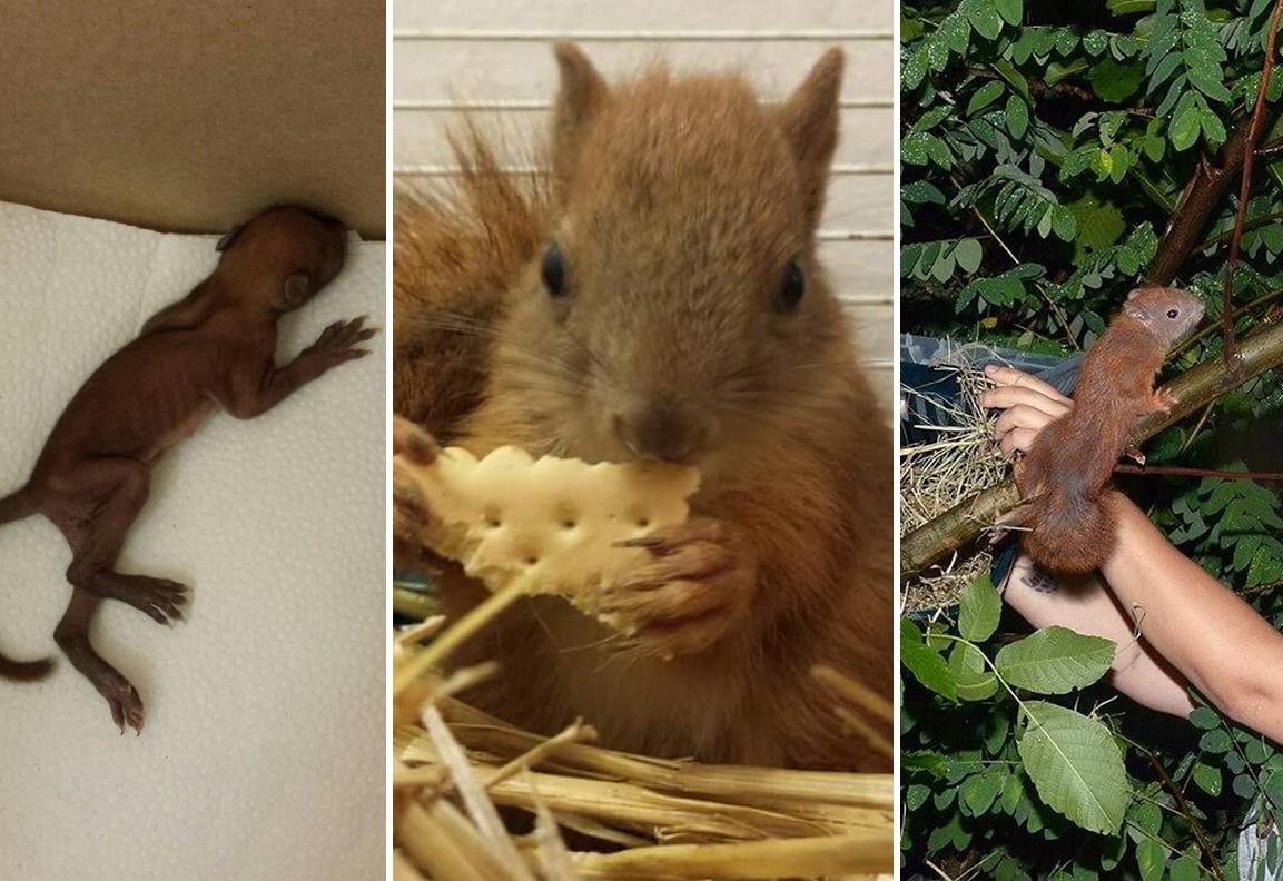 Visszatérhetett a vadonba a Farkaserdőből mentett mókuskölyök