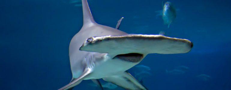 Ez az oka, amiért oldalra fordulva úsznak a kalapácsfejű cápák