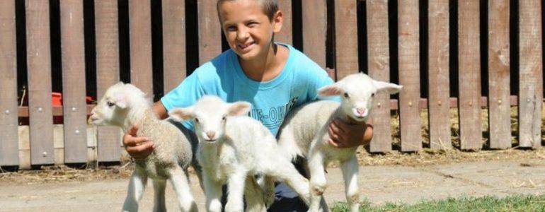Három bárányt segített világra a nyíribronyi kisfiú