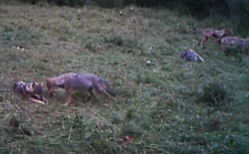 Kameracsapdák védik a farkasokat az Aggteleki Nemzeti Parkban