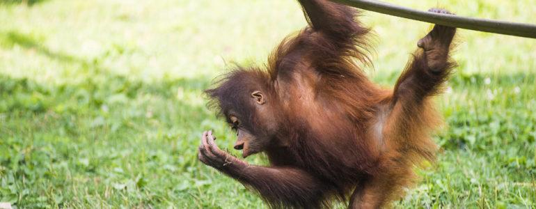 Ismerd meg a kritikusan veszélyeztetett orangutánokat!