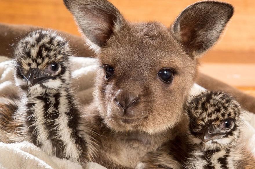 Kengurubébivel kötött életre szóló barátságot a két árván maradt emu