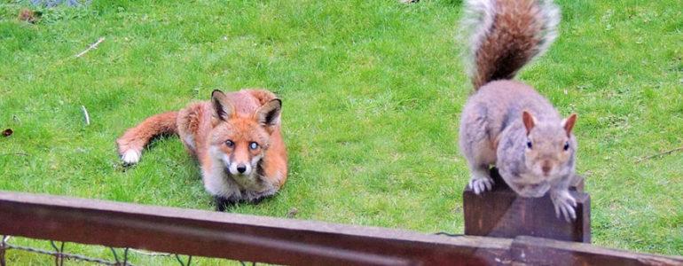 Ennivalóért jár egy férfi házához a mókus és róka barátja