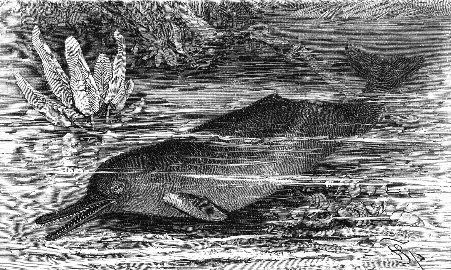 Huszonötmillió éve élt, kihalt delfinfajt azonosítottak amerikai tudósok