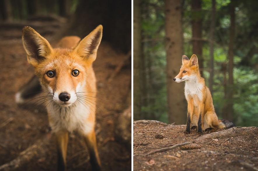 Mesekönyvbe illő képeket készített egy rókáról a szerencsés fotós