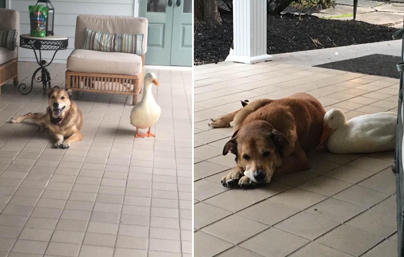 Kacsa vigasztalta meg a legjobb barátját gyászoló depressziós kutyust