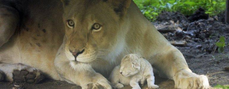 Látogatók szeme láttára született fehér oroszlán a Nyíregyházi Állatparkban