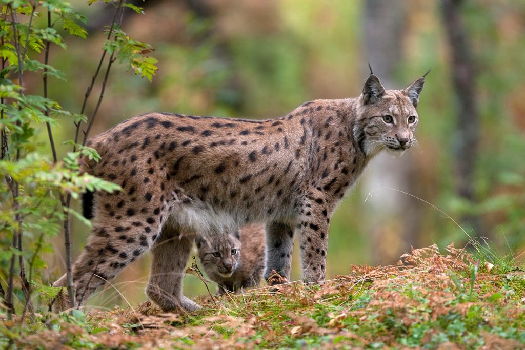 Eurasian Lynx lynx lynx, with kitten in autumnal boreal forest, Norway (c)