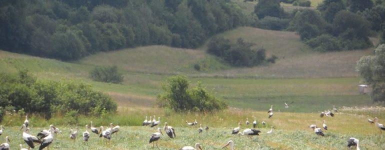 Így gyülekeznek a hamarosan elköltöző gólyák