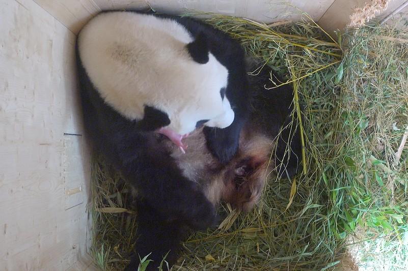 Pandabocs született a schönbrunni állatkertben