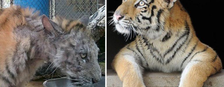 Újjászületett a cirkuszból mentett, borzalmas állapotban lévő tigriskölyök