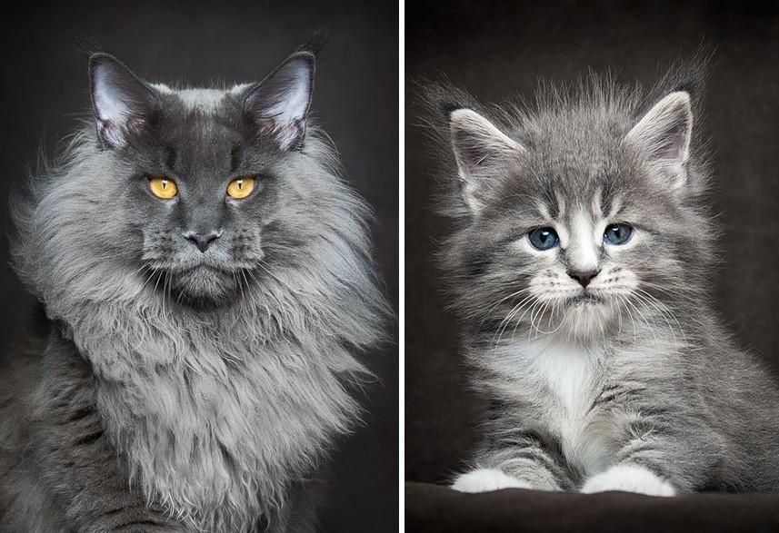 Akár a mítikus teremtmények – Gyönyörű fotók a fenséges Maine Coon macskákról