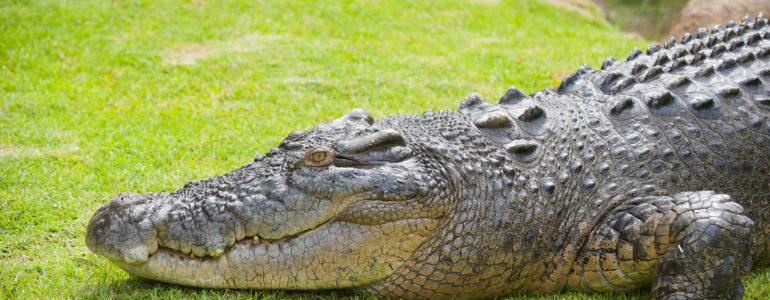 Krokodiltámadás után három nappal mentettek meg egy kajakost Ausztráliában