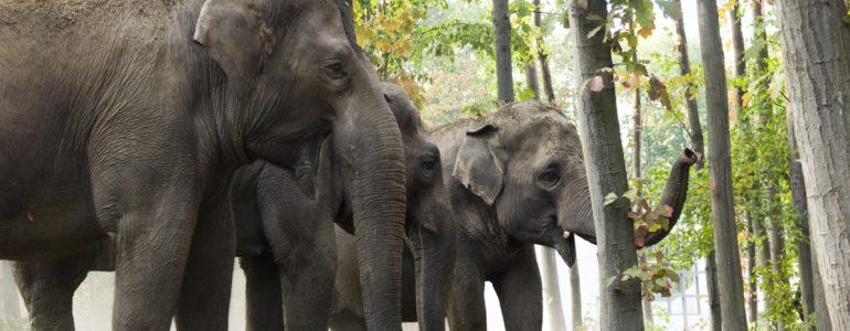 Ismerd meg Földünk legnagyobb szárazföldi állatait, az elefántokat