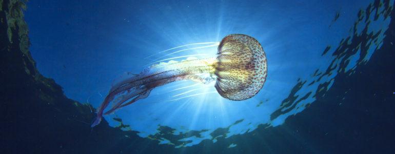 A telihold és a meleg tengervíz vonzza tömegével a medúzákat az izraeli partokhoz