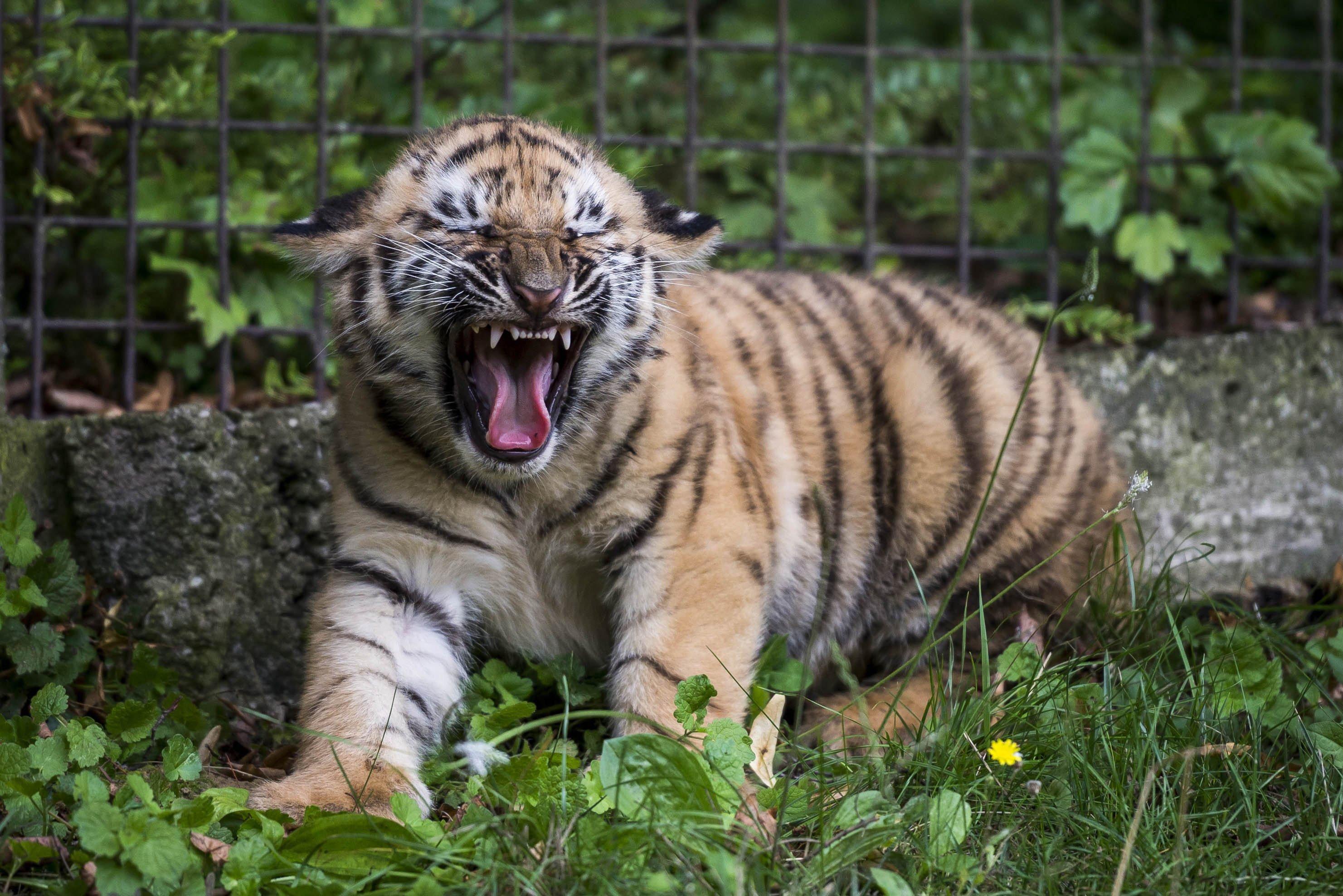 Veszprém, 2016. augusztus 3. Két hónapos szibériai tigris ismerkedik kifutójával a veszprémi állatkertben 2016. augusztus 3-án. MTI Fotó: Bodnár Boglárka