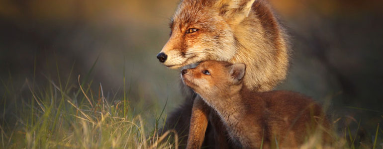A rókák mesés világa, ahogyan csak ritkán láthatjuk