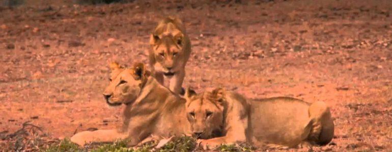 Megmérgezték Namíbia kedvenc oroszlánjait