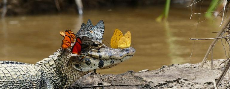 Pillangókoszorút viselő kajmánról készült a hét természetfotója