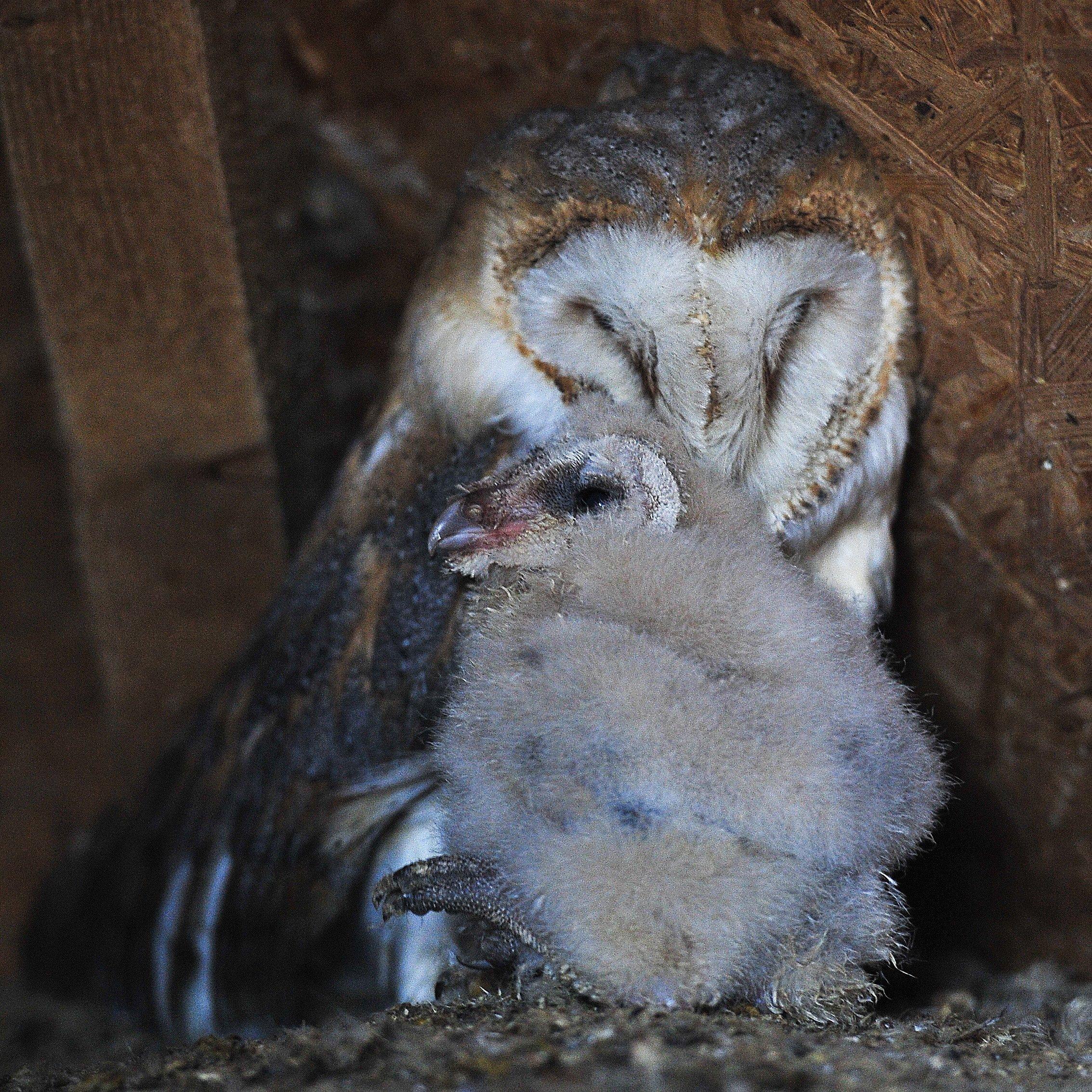 Hortobágy, 2016. szeptember 9. Egy gyöngybagoly (Tyto alba) és háromhetes fiókája a Hortobágyi Madárparkban 2016. szeptember 9-én. MTI Fotó: Czeglédi Zsolt