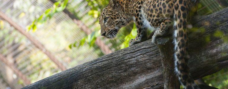 Észak-kínai nőstény leopárd érkezett a debreceni állatkertbe