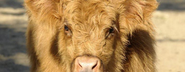 Szépen cseperedik Nyíregyházán a skót-felföldi marha borjú
