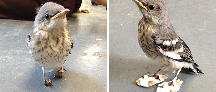 Miniatűr hótalpakat kapott a sérült rigó, ma már teljesen egészséges