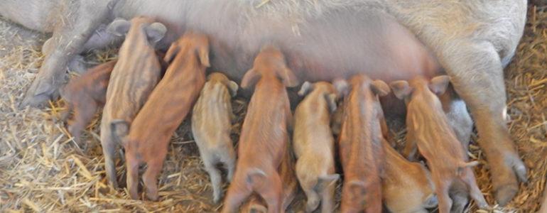 Mangalica tízes ikrek születtek az eperjesi tájházban