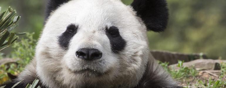 Megmenekültek – Az óriáspanda már nem veszélyeztetett faj