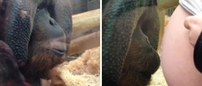 Csókot nyomott a várandós kismama pocakjára az orangután